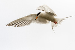 Forster's Tern Hovering (rlb1957) Tags: forsterstern sternaforsteri coyotehillsregionalpark eastbayregionalparkdistrict ebrpd fremont california bif bird flight foraging hovering highkey