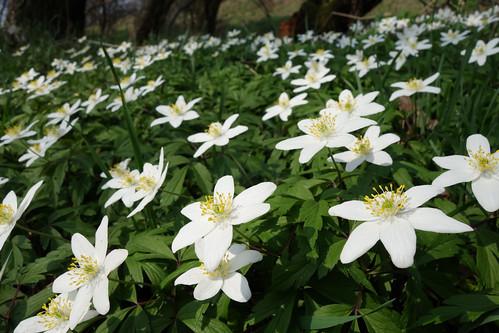Anemone nemorosa - wood anemone - Busch-Windröschen