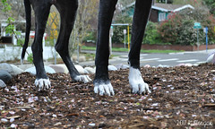 14.52.2017 These Feet Are Made For Walking (kmmorgan1977) Tags: 52weeksfordogs 2017 52wfd2017 kkzsapachevegasrose greatdane oregon spring walk milwaukie dog bff blackwhite