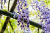 DSC_1562 (sayo-tsu) Tags: 藤 wisteria 牛島のフジ 春日部市 埼玉県 kasukabe saitama 特別天然記念物