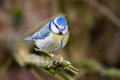Blue Tit (Keith Grafton) Tags: leightonmoss blue tit birds