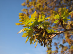 Spring Oak (ekaterina alexander) Tags: spring oak tree leaves quercus robur green ekaterina england alexander sussex trees branch branches nature photography pictures
