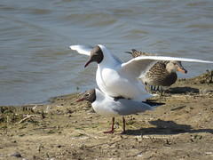 Love is in the air...Black headed gulls... (nina1688) Tags: blackheadedgulls love loveisintheair mating gulls beautiful birds wildbird birdworld britishbird suffolk rspbminsmere minsmere rspblovenature naturephotography nature natural naturereserve springwatch spring gull twobirds maleandfemale cute close birdonwater waterbird water birdphotography photography photo photographer wildlifephotography myphoto birdphotograph wildlife sunshine