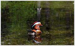 (tom-steele) Tags: mandarin duck mandarinduck ducks birds bird wildlife nature lake mandarins