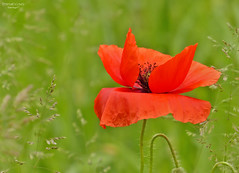 Papavero rosso (ape maya77) Tags: papavero poppy fiore flower campo giardino garden rosso red verde green macro panasonic fz200 lumix