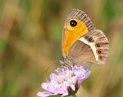 Pyronia bathseba (J Carrasco (mundele)) Tags: valledevio pndeordesaymonteperdido huesca pirineos insectos mariposas rhopalocera nymphalidae pyronia