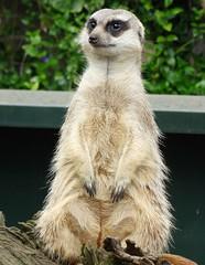 Meerkat (adeleshaw) Tags: wildlife wildanimals meerkats norfolkbroads
