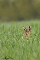 There's a hare in my grass (NikonNigel) Tags: copyright©nigelcox copyrights brownhare buckinghamshire wildlife grass