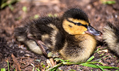 There once was (LoomahPix) Tags: 7dwf animal babies baby bird city duck duckling england fauna flickr gb natural nature northyorkshire uk york yorkshire