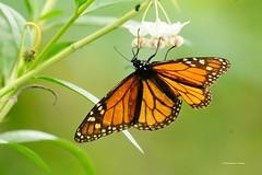 DSC_1487 Monarchvlinder (Daunus plexippus)
