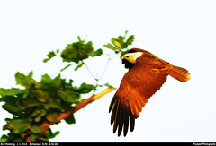 Brahminy_kite_04 (Jyotiprasads) Tags: birds commonbirds birdsofodisha odishabirds