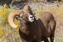 A bighorn sheep ram poses