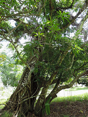 Bermudian Landing - Being Strangled (Drriss & Marrionn) Tags: travel trees flora rainforest belize jungle strangled centralamerica