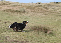 It's in my Sights! (sharongellyroo) Tags: holidays dunes norfolk bordercollie ki wintertononsea