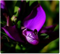 "Purple (wallace39 "" mud and glory "") Tags: flower purple natura fiore viola autofocus rememberthatmomentlevel4 rememberthatmomentlevel1 rememberthatmomentlevel2 rememberthatmomentlevel3 rememberthatmomentlevel9 rememberthatmomentlevel5 rememberthatmomentlevel6 rememberthatmomentlevel8 rememberthatmomentlevel10"