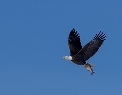 Bald Eagle Carrying Fish (Randall Runtsch) Tags: blue sky brown white fish bird minnesota wings eagle symbol tail baldeagle beak feathers bluesky mississippiriver talons wabasha nationalsymbol