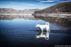 IMGP4780-Edit (Matt_Burt) Tags: dog white lake reflection swim puppy happy mutt walk tail luna reservoir wade bluemesa