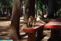 Cdre Gouraud Forest, Morocco (ThinkingNomads) Tags: africa forest morocco arab marocco monkeys cdre scimmie gouraud nonsoloturistiit thinkingnomadscom