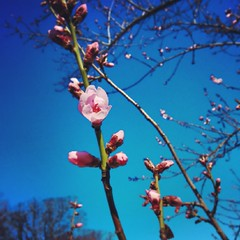 (*camilla*c) Tags: pink tree mobile spring blossom sweden april gotland 19 visby 2014 instagram nexus5