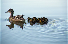 Duck family. (Lee1885) Tags: family water swimming duck ducklings
