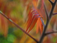 Herfstwarmte (nikjanssen) Tags: autumn fall automne leaf bokeh herfst explore helios44m4