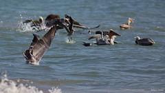 Brown Pelican (C), plunged, Santa Monica Bay CA CQ4A1602 (Hart Walter) Tags: brownpelican malibulagoon marbledgodwit earedgrebe santamonicabay pelicanfeedingfrenzy