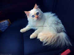 Himalayan Orange (dr.7sn Photography) Tags: orange cats moon face cat jeddah himalayan