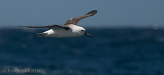 YNAlb-7032 (Henry.Cook) Tags: ocean sea nature birds yellow amazing wildlife indian birding australia tasmania seabirds albatross nosed pelagic mollymawk thalassarchecarteri