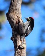 Acorn woodpecker (Victoria Morrow) Tags: