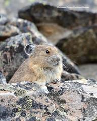 Pika (Photos of Southwest Montana) Tags: summer southwest rabbit bunny nature rock brad forest nikon montana hare wildlife sigma national dillon christensen pika beaverhead beaverheaddeerlodge