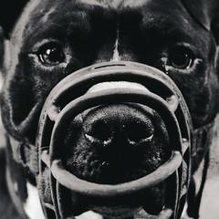 Grey (NolanDolo) Tags: old portrait dog pet black monochrome animal danger mouth nose dangerous eyes nikon shine head cover aged banned restrained
