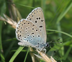 Large Blue (Maculinea arion) (Rezamink) Tags: uk butterflies largeblue maculineaarion