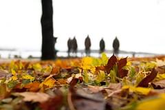 oslo - bygdoy (Stefano☆Majno) Tags: autumn winter travelling leaves oslo norway canon leaf fjord peninsula wandering stefano fram amundsen majno bydgoy
