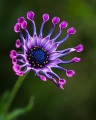 purple flower, vanDusen garden, Vancouver (gks18) Tags: park flower vancouver contrast garden purple bloom burstofcolor naturethroughthelens