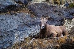 Jasper Dark Skies Last Day-22 (brendanvanson) Tags: travel wild canada tourism nature female jasper sheep wildlife alberta bighornsheep