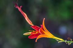 HEMEROCALLIS AURANTIACA. UNA FIAMMATA DI COLORI. (FRANCO600D) Tags: macro canon bokeh fiore rosso colori lilium giglio pianta giglioselvatico eos600d franco600d