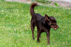 "Little Brown Dog • <a style=""font-size:0.8em;"" href=""http://www.flickr.com/photos/89972965@N03/15503849459/"" target=""_blank"">View on Flickr</a>"