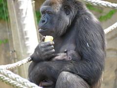 Mbeli and Mjukuu (myopixia) Tags: gorilla taronga tarongazoo westernlowlandsgorilla mjukuu myopixia mbeli