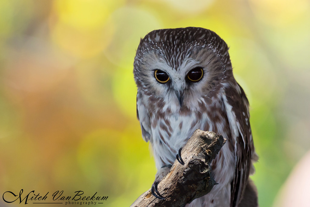"""Mortimer"" - Northern Saw Whet Owl"