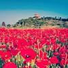 Poppies in Tuscany (sunnytuscanyanditaly) Tags: italy italia tuscany poppies toscana papaveri poppiesfield campodipapaveri campodipapaveriintoscana poppiesfieldintuscany
