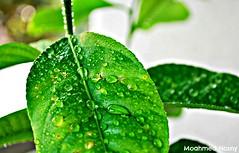 leaf (mohamed_8129) Tags: green photography photo leaf lemon nikon photographer picture
