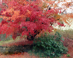 The maple laughed at the rain (*CA*) Tags: autumn color farmhouse maple ct myneighborhood
