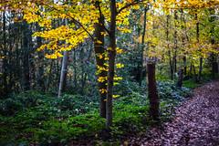 DSC05299 (Falcdragon) Tags: autumn trees color colour forest walking evening woods belgium sony hills alpha a7 liège ilce7