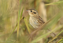 Le Conte's Sparrow Fresh Juv Plumage_ZM43693-October 2010 (www.sabrewingtours.com) Tags: ohio fall october brian birding le sparrow marsh migration habitat wetland zwiebel plumage snt contes ammodramus lecontes sabrewing naturetours phototours leconteii birdingtours sabrewingnaturetours brianzwiebel