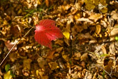 Rite of Fall (TangibleDay) Tags: autumn red fall nature closeup season leaf warm earth organic
