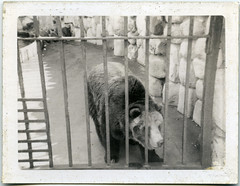 A Bear At The Chicago Zoo In 1969 (Alan Yahnke) Tags: chicago 1969 film epsonperfectionv750 polaroidswingermodel20 polaroidmodel20camera