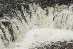 Fresh Salmon (peterspencer49) Tags: southwales breconbeacons peterspencer breconbeaconswaterfalls peterspencer49
