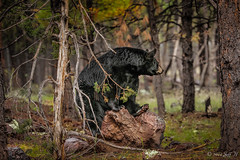 Bearly Noticed (Cajun Snapper) Tags: bear arizona ngc naturallight pinetrees blackbear sittin camouflaged kaibabnationalforest williamsaz bearnecessity pineyforest canoneos5dmarkiii ef70300mmf456l beautiesbeasts goingunnoticed