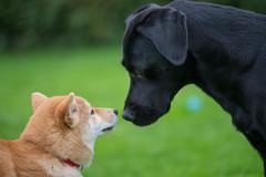 Buddy meets Shakira (Flemming Andersen) Tags: black denmark labrador shiba jelling regionsyddanmark