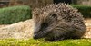 Hedgehog (KHR Images) Tags: wild nature garden mammal nikon wildlife kitlens northumberland hedgehog lesbury erinaceinae 1855mmzoom d7100 kevinrobson khrimages